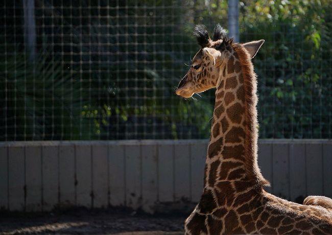 San Diego Zoo San Diego Giraffe Baby Animals Giraffes Giraffe♥ Sony A6000 Zoo