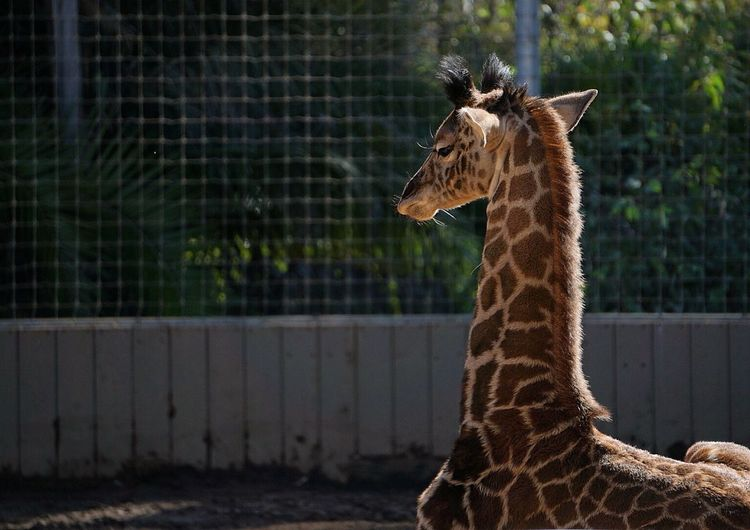 Young Giraffe On Field At Zoo