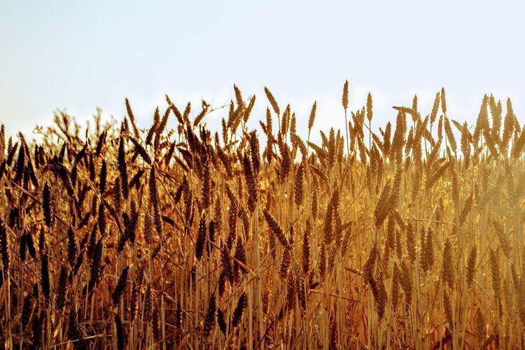 Wheat growing on field against sky