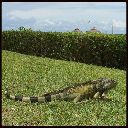 Iguana Grass Nature Bushes