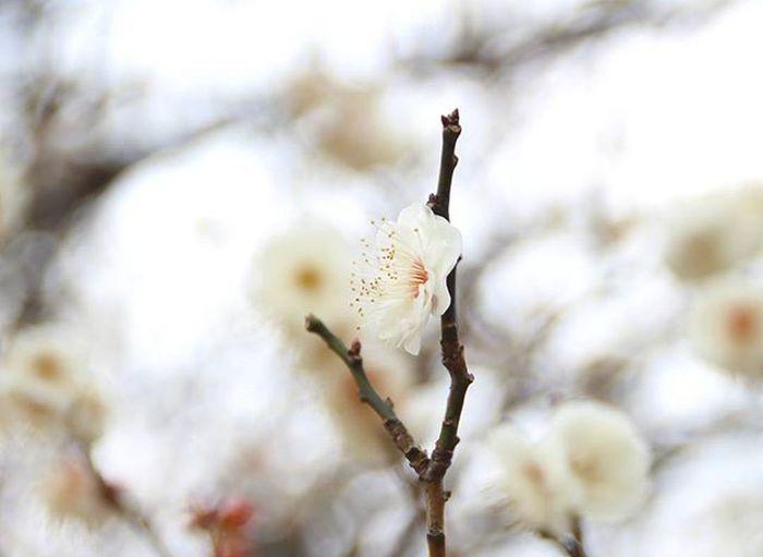 梅 白梅 梅は白が好きです。