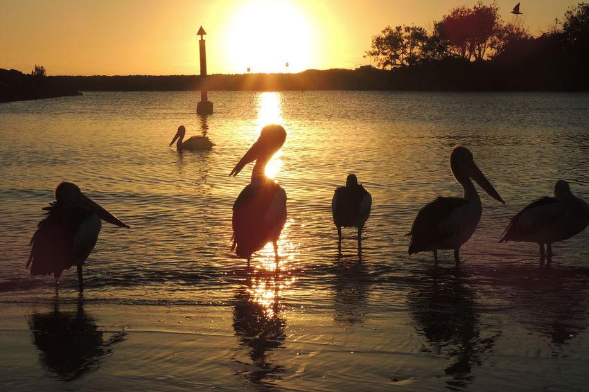 Australia Bird Photography Kingscliff Morning Morning Light Nature Pelican Pelicans Sea Wild Wildlife Photography