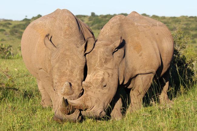 Big Love Africa Animal Animal Love Animal Themes Animals In The Wild Big Love Close To You Love Mammal Nature No People Outdoors Rhino Rhinoceros EyeEmNewHere