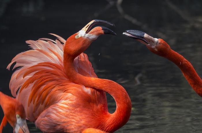 American flamingo American Flamingo Caribbean Flamingos Flamingo Phoenicopterus Ruber Phoenicopterus Ruber Roseus Bird Birds Flamingo At The Zoo Flamingos Flamingos In Water