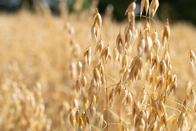 A close up view of an ear of oats in the field oat growing on field