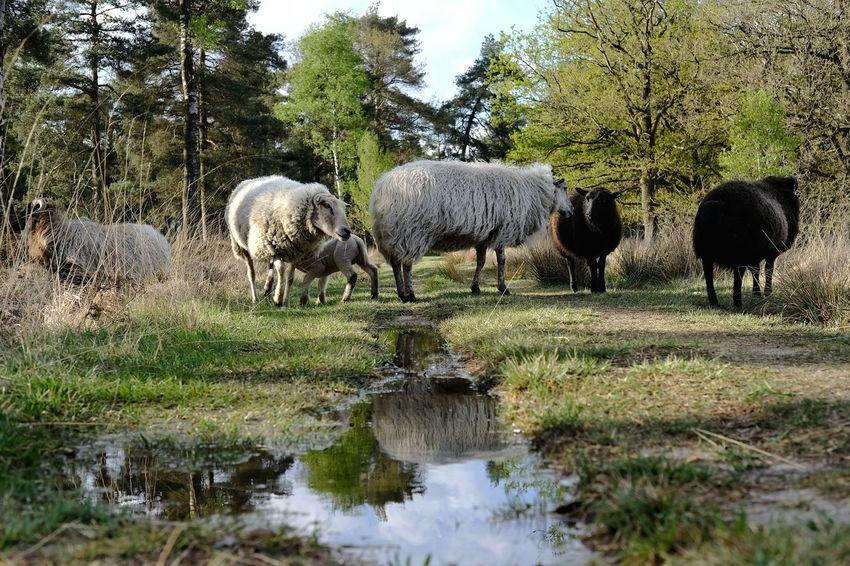 Tree Water Sheep Animal Themes Grazing Livestock