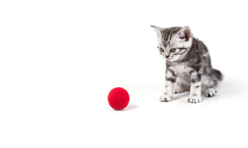 Cat looking away against white background
