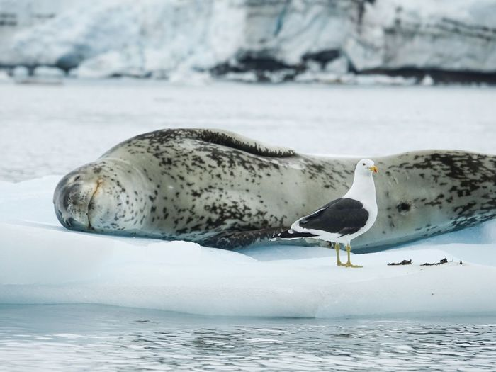 Antarctica Iceburg Gull Seal Animals In The Wild Animal Themes Animal Wildlife Bird Nature Cold Temperature One Animal Winter Day Water Sea Outdoors Beauty In Nature Snow No People Seagull Beach