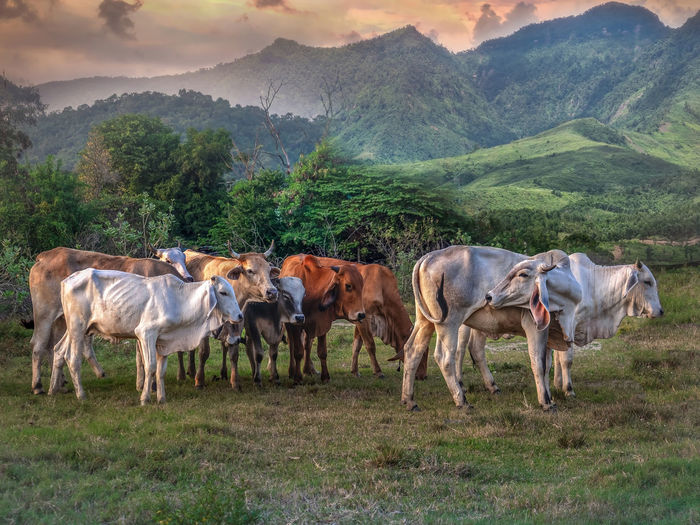 Thai cows eating grass and resting in a field.