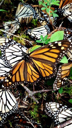 Beatyful Nature Mariposas Monarcas