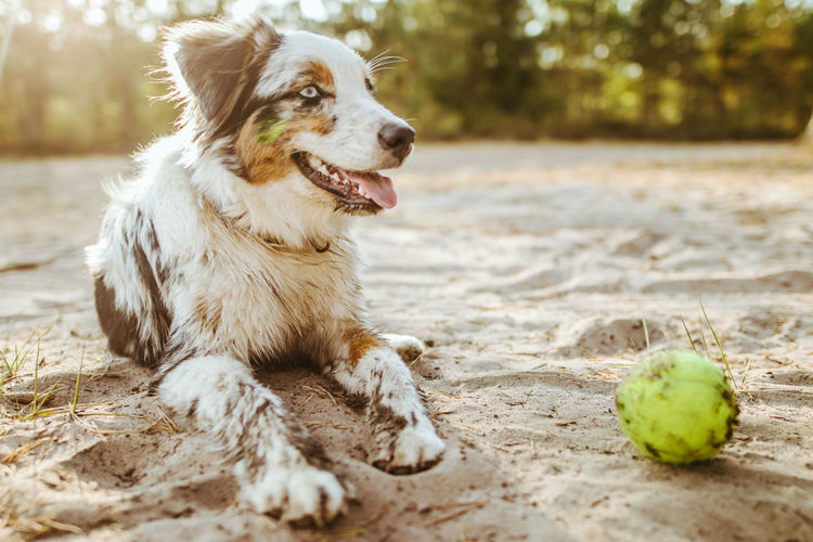 Blue Merle Animal Animal Themes Aussie Ball Blue Merle Mini Aussie Bluemerle Canine Day Dog Domestic Domestic Animals Eyes Focus On Foreground Land Looking Looking Away Mammal Nature No People One Animal Pets Sand Selective Focus Tennis Ball