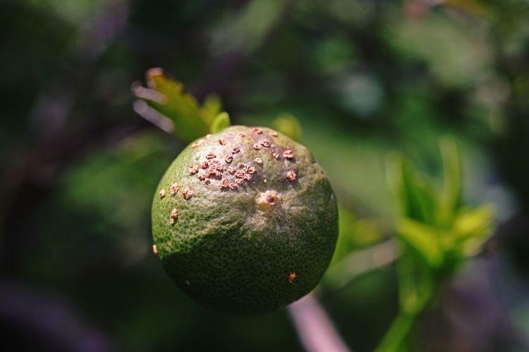Fruit canker disease on lime fruit, bacterial disease