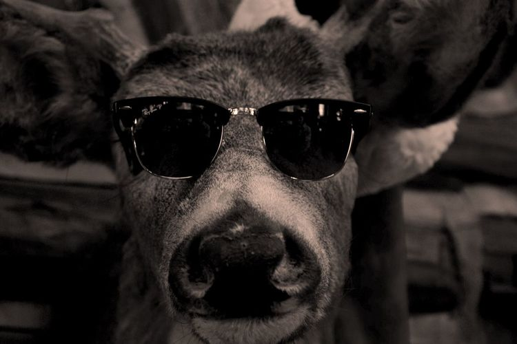 -Nels' Cabin pt 2- Retro Supercool Sunglasses Raybans Sunglasses Pets Looking At Camera Portrait Protection Close-up Animal Themes One Animal Outdoors