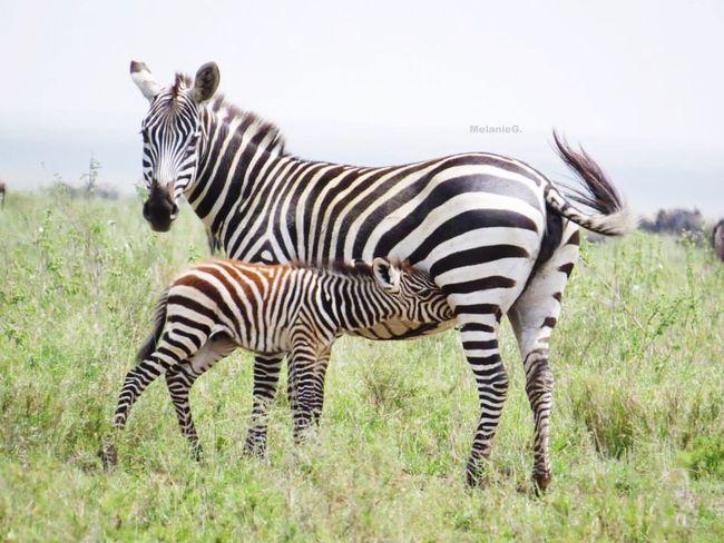 Tanzanie Bebe Maman Zèbre Savane Boire Cute