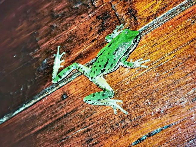 Frog Frogs Rana Ranas🐸 Ranas❤ HDR Huawei P9 Leica HuaweiP9 No People Wood - Material Textured  Close-up Reptile Outdoors Animals In The Wild Green Color Animal Wildlife Animal Themes