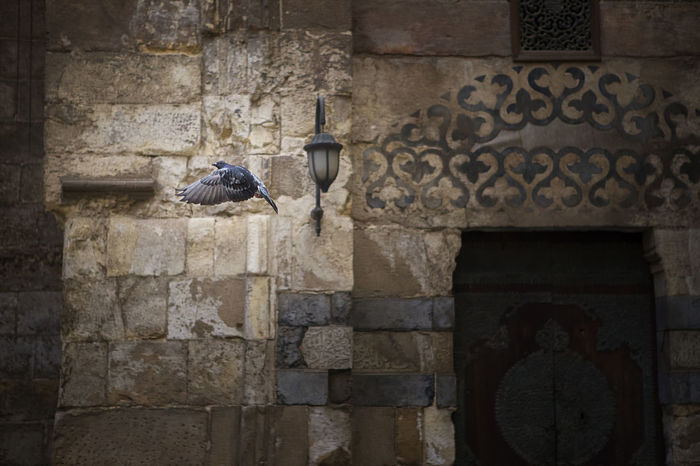 Egypt Animal Animal Themes Animal Wildlife Animals In The Wild Architecture Bird Building Exterior Built Structure Cairo,egypt Day Dove History No People Old One Animal Perching Pigeon Pigeon Bird  Pigeon In Flight Pigeon Stretched Wings Pigeons In Flight Pigion Pigion Picture Taken At Right Moment Pigions Fly Stone Wall The Past Vertebrate Wall Wall - Building Feature