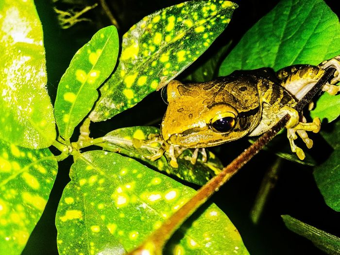 frog on the tree Amphibian Frog Frogs Outdor EyeEm EyeEm Animal Lover Phone Photography Eyeem Market Eyeem Animal EyeEm Gallery On The Tree Eyeemphotography INDONESIA Bali Animal Small Reptile Camouflage Close-up Green Color