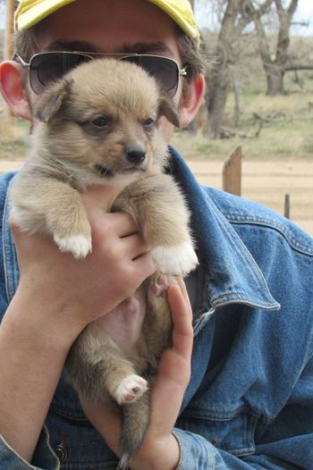 Close up of corgi puppy