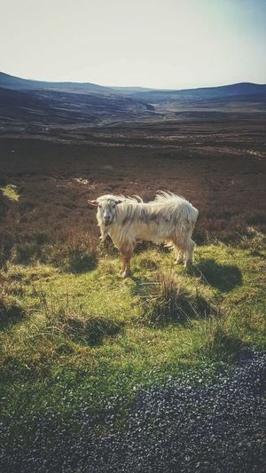 My Year My View Livestock Samsung Galaxy S7 The EyeEm Facebook Cover Challenge TheWeek On EyEem The Great Outdoors - 2016 EyeEm Awards EyeEm Masterclass The Week Of Eyeem EyeEm Best Shots - Nature Ireland🍀 EyeEm Best Shots Awesome Performance Sheep@Work EyeEm Best Edits Scenics Goat Life Goat