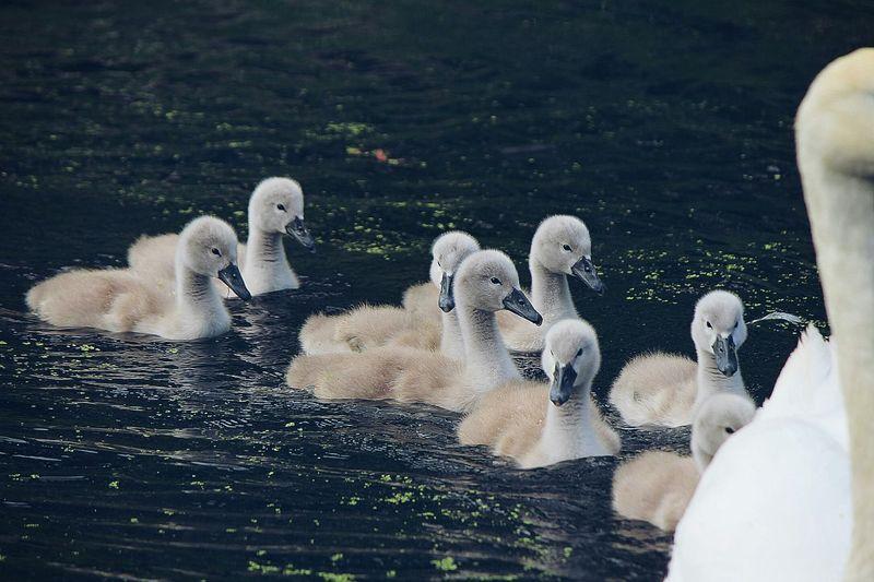 Swans Cygnets EyeEm Birds Walking Around Cute♡ Summer Photography Canal Beautiful Birds