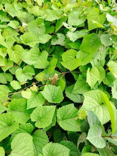 Natural Backgrounds Leaf Full Frame Close-up Green Color