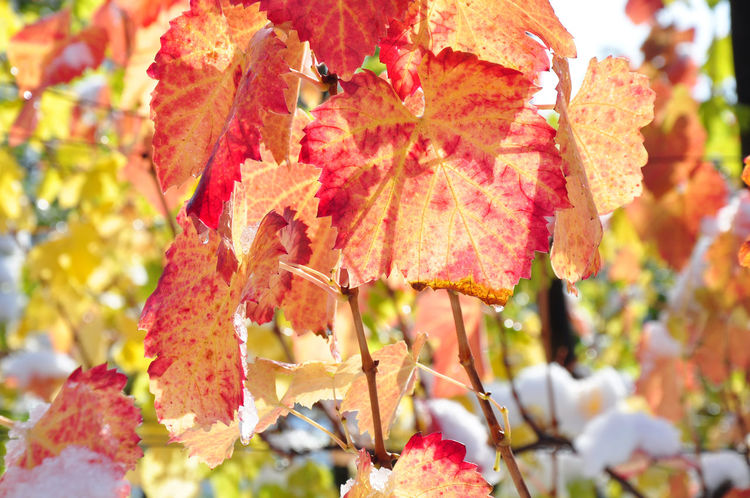 Vine leaves in autumn colors Autumn Colors Autumn Leaves Red Weather Autumn Close-up Early Snowfall Focus On Foreground Leaf Nature Orange Color Season  Snow Vine Leaves
