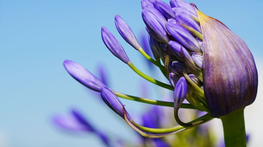 Close-Up Of African Lily Buds