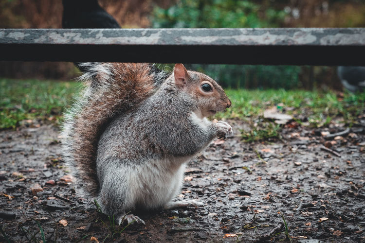 Animal Themes Animal Mammal Animal Wildlife One Animal Animals In The Wild Vertebrate Rodent Land Focus On Foreground Squirrel Day Nature No People Close-up Field Looking Outdoors Sitting Zoology Herbivorous