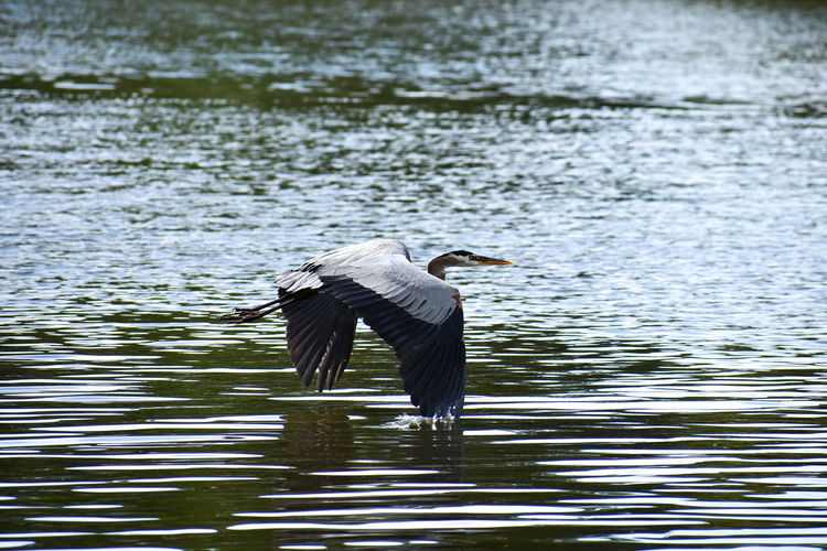 Animal Wildlife Animal Wing Animals In The Wild Bird Flapping Flying Heron Lake Nature Outdoors Rippled Spread Wings Water Water Bird Waterfront