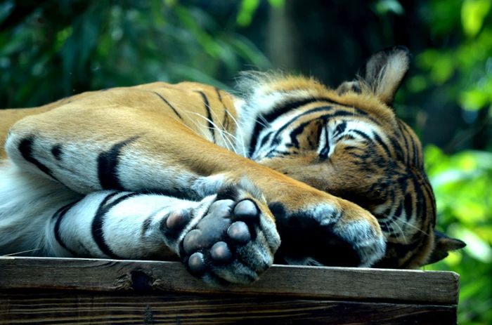 Eyem Best Shots Nature_collection Tiger. Eye4photography