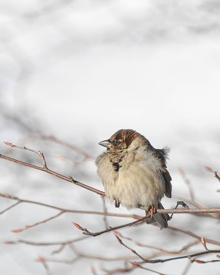 Sparrow Bird Wildlife CentralPark Winter Snowyday NYC Wildlifeactionshot Natureporn Naturephotography Photoarena_nature Wildlife_perfection Wildlife_seekers Birdphotography Birdphotooftheday Instabird Cute Topshots Feeding  Cold Nice Your_best_birds Naturelovers Iceskating Beautiful birdofinstagrambirdloversbeautifulcolorsnationalgeographic