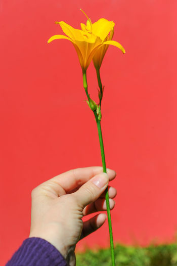 Close-Up Of Hand Holding Yellow Flower Against Wall