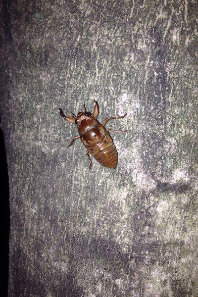 夜のジョギングコースで発見!I was found in tonight's jogging course ! 夏の使者。蝉の幼生。Bring the summer. Cicada larvae. In The Park Cicada 蝉
