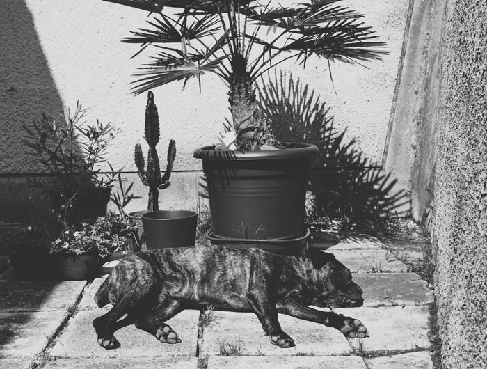 Siesta and greenery Potted Plant Plant Growth Wall - Building Feature Pot Plant Day Domestic Animals Houseplant Outdoors Solitude No People siesta Botany Focus On Foreground Beauty In Nature Selective Focus Close-up Green Color Plant Dog Cane Corso