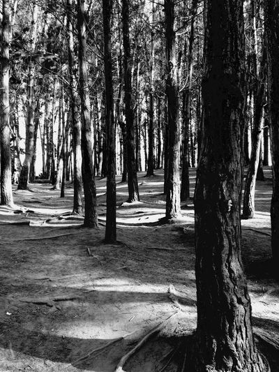 Chile Canelillo Light And Shadow Contrast Blackandwhite Tree Tree Trunk Trunk Plant Growth Nature Forest Land WoodLand No People Outdoors Beauty In Nature Day Landscape Remote