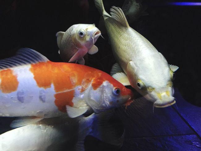 Close-up Animal Themes Fish Carpe Koi