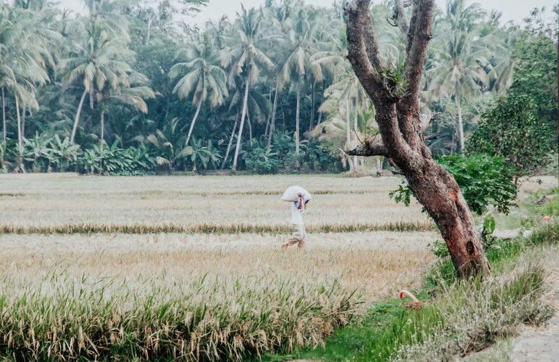 rice fields at Grujugan village, Banyumas, central Java, Indonesia Rice Paddy Rice Field The Farmer Central Java Beautiful Indonesia Wonderful Indonesia Travelling Tourism Farmland Plantation Daytime Working Hard Agriculture Rural Scene Grass Plant Landscape Agricultural Field
