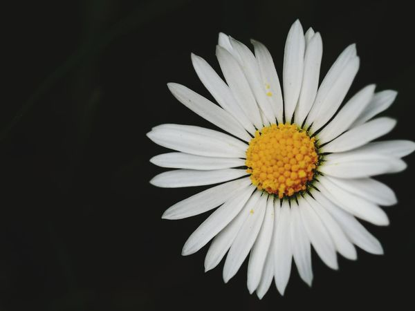 Jeans Brown Photography Flower Petal Fragility Flower Head Beauty In Nature Freshness Close-up Pollen White Color Nature Yellow No People Springtime Plant Black Background Outdoors Day Growth Multi Colored Daisy ♥ Daisy Close Up Daisy Flower Daisy 🌼 Beauty In Nature