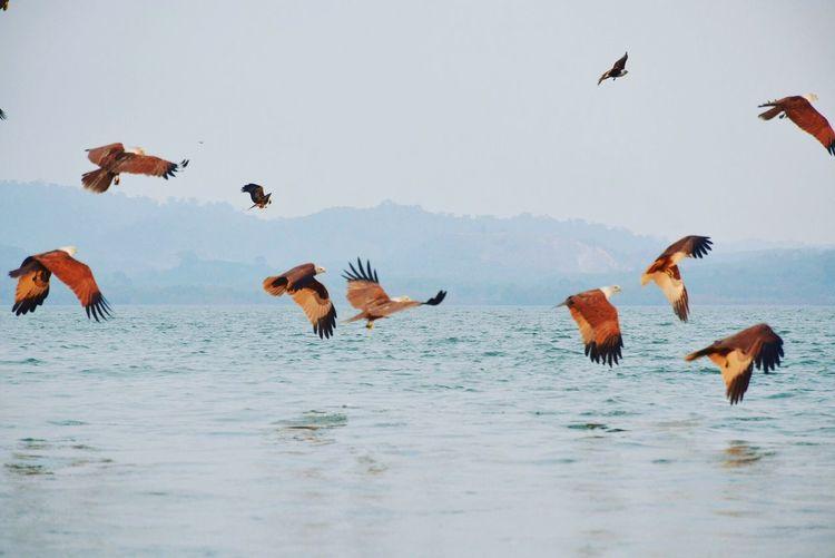 Brahminy kites flying over sea