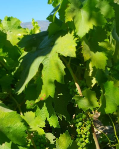 Growing grapes i took a picture of in Castello di Amorosa in Napa Valley, California.. 💚 (Taken on my Samsung Galaxy S9+l Grapes Growing Green Color MotherNaturesGift Godisthebest Godscreation Godsartwork Nofilter Scenery Napa Valley Castellodiamorosa Beautiful Nature Fruits Winery Naturesgift California EyEmNewHere Leaf Agriculture Shadow Sunlight Close-up Plant Green Color EyeEmNewHere