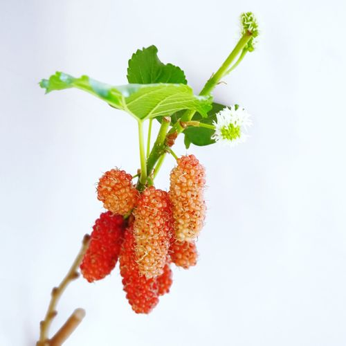 Selective Focus Young Mulberry Friut Isolated On White Background. Healthy Isolated White Food Green Mulberry Mulberries Food And Drink Healthy Eating White Background Leaf Biology Fruit Close-up Food And Drink