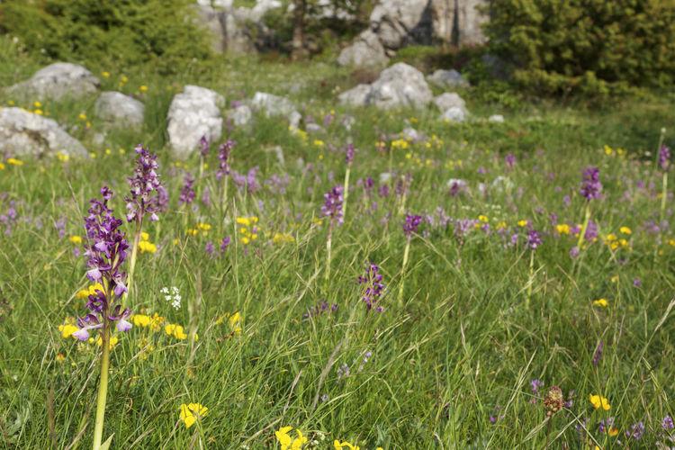 Close-up of fresh purple crocus flowers in field