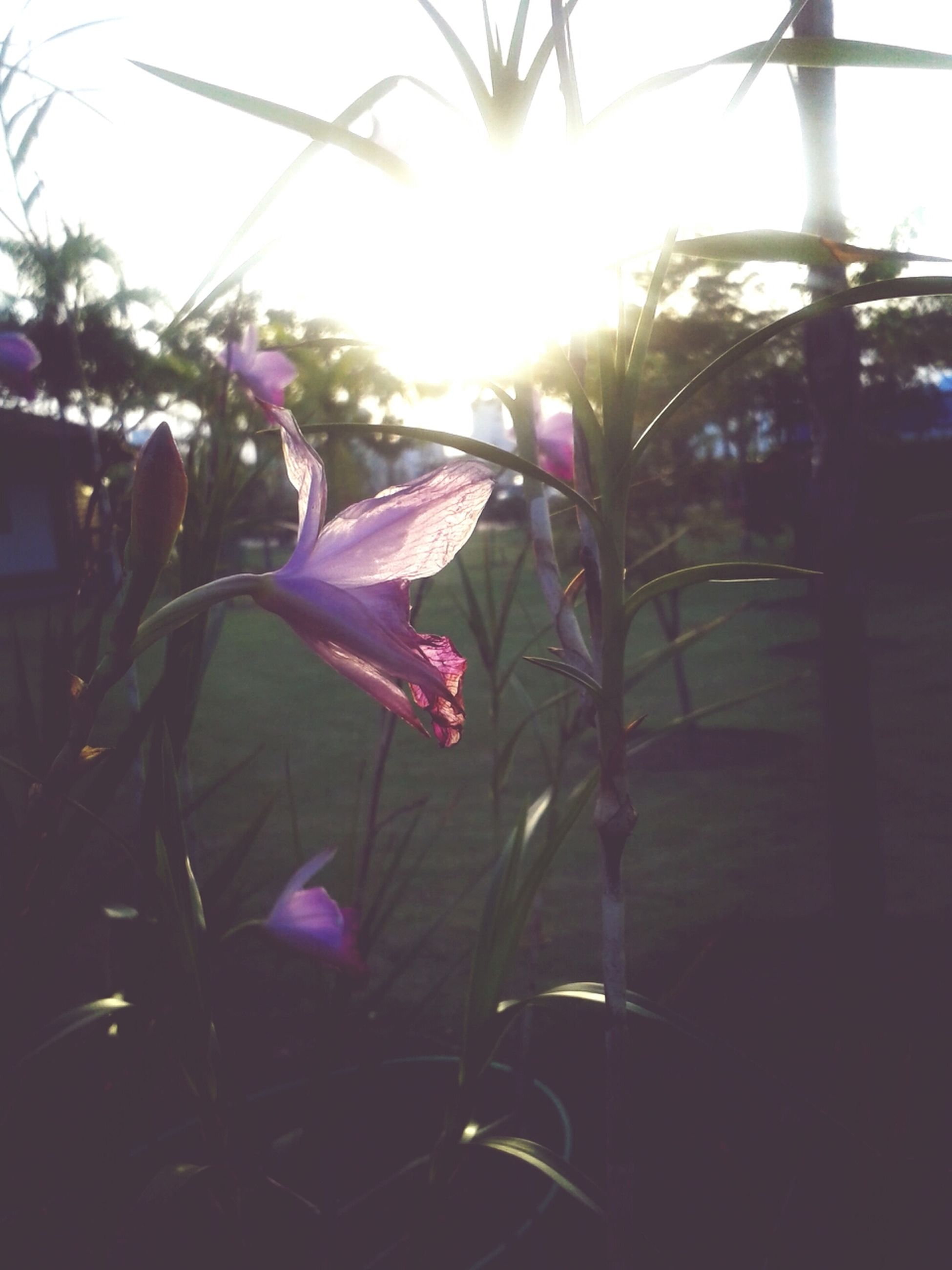 flower, sunbeam, growth, sunlight, plant, sun, fragility, freshness, close-up, nature, beauty in nature, focus on foreground, lens flare, purple, no people, day, stem, petal, leaf, indoors