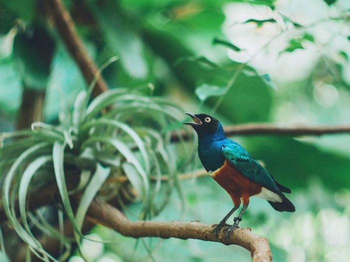 Superb starling perching on tree in garden