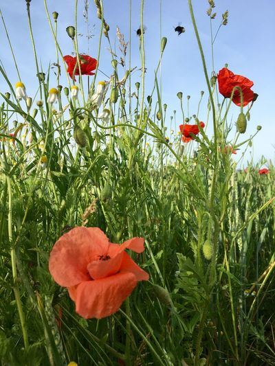 Flower Growth Poppy Red Petal Plant Freshness Nature Beauty In Nature Fragility Field Blooming Flower Head No People Day Outdoors Close-up Sky Day Lily Bumblebee EyeEm Nature Lover Klatschmohn Klatschmohnblüte Red Field