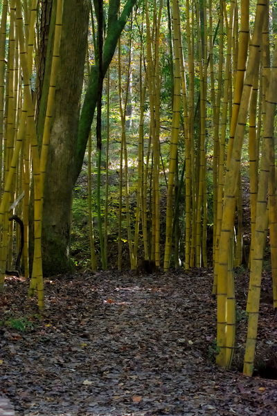 Yellow bamboo Forest Prattville, Alabama Hiking Plants Yellow Bamboo Bamboo Forest Cane Large Bamboo Looking Forward Plants And Flowers Trail