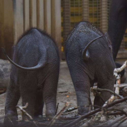 Baby Babies Babies Elephant Baby Elephant Young Elephant Animallover Photooftheday Animallovers Nice Animal Cute Pets_of_instagram Animal Wildlife Animals In The Wild Mammal Animal Themes No People Outdoors Young Animal Nature Elephant Calf