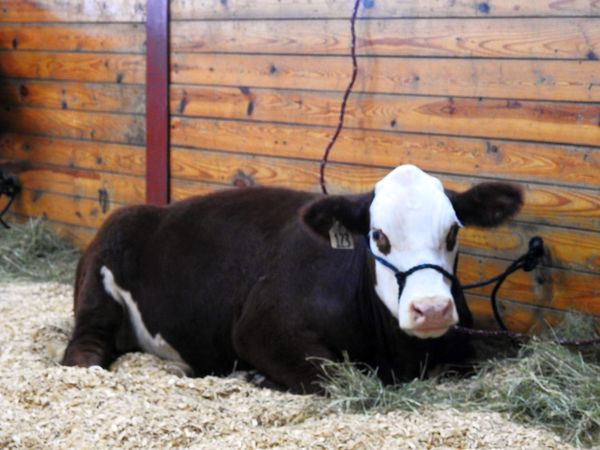 Animal Themes Animals Brown Cow Brown Cows Cattle Country Life Country Living Cow Cows Cows!!! Domestic Animals Fair Farm Animal Farm Animal Close Up Farm Animals Farm Life Farm Living Hereford Hereford Cow Mammal No People The Big E