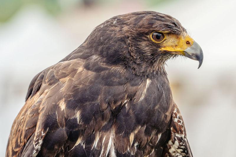 Falke, gesehen