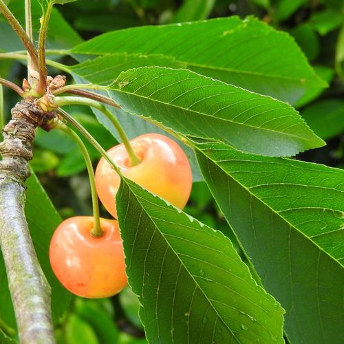Close up of Cherries on Tree Green Leaves Cherries Leaf Plant Part Fruit Food Food And Drink Growth Healthy Eating Close-up Freshness Tree Green Color Nature Orange Color Focus On Foreground